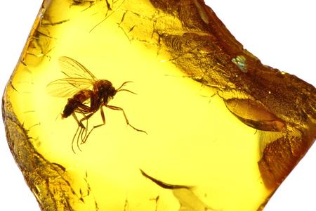 Hongo mosquito Mycetophilidae preso en ámbar báltico
