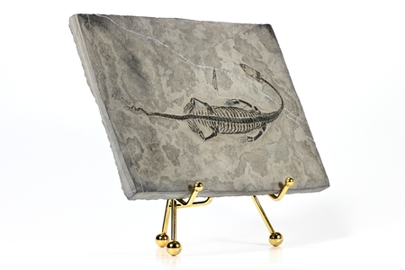 paleontologist: Keichousaurus hui found in Guizhou Xingyi China isolated on white background