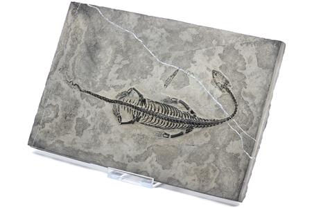 petrified fossil: Keichousaurus hui found in Guizhou Xingyi China isolated on white background