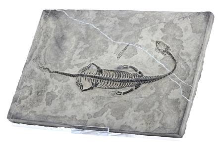 tethys: Keichousaurus hui found in Guizhou Xingyi China isolated on white background