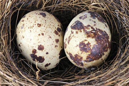 hotbed: bird nest with two eggs
