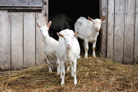 three white goats in front of a barn Zdjęcie Seryjne