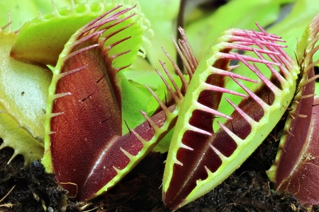 leaves of a venus flytrap