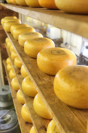 maturing: small cheese wheels maturing in a Dutch cheese factory