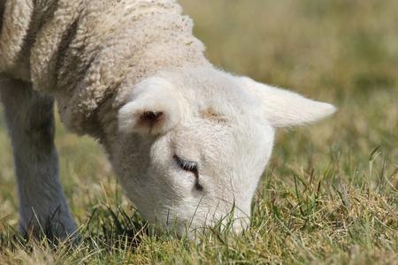 pasen schaap: babylam grazen op de weide
