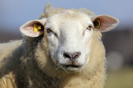 looking into camera: sheep looking into camera