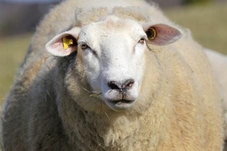 looking into: sheep looking into camera