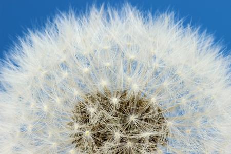 blowball: blowball against blue sky