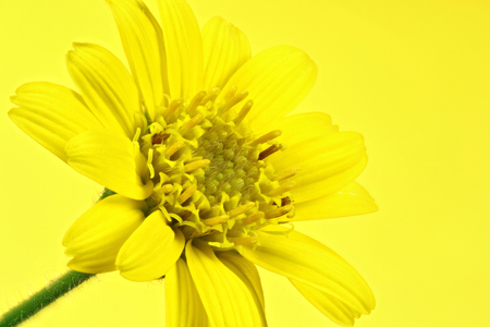arnica: arnica montana flower head against yellow background