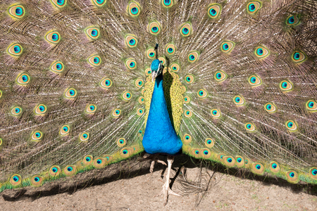 blue peafowl: male Indian peacock on display