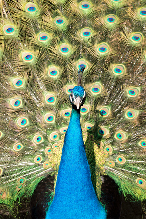 courting: male Indian peacock on display