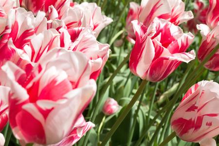 rembrandt: Rembrandt tulip (variety Sorbet)