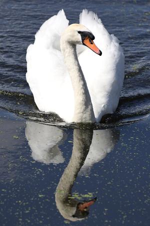 cygnus olor: swimming mute swan (Cygnus olor)