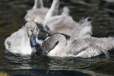 olor: swimming mute swan cygnets (cygnus olor)