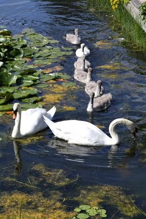mute swan: mute swan family (Cygnus olor) Stock Photo