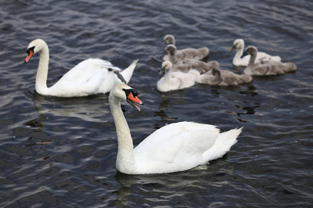 cygnus olor: mute swan family (Cygnus olor) Stock Photo