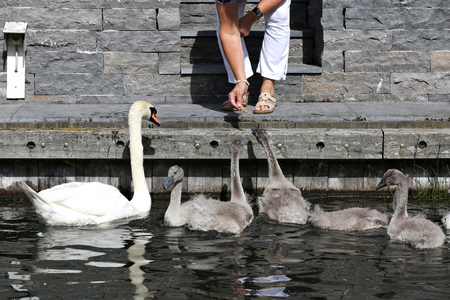 olor: mute swan family feed with bread (Cygnus olor) Stock Photo