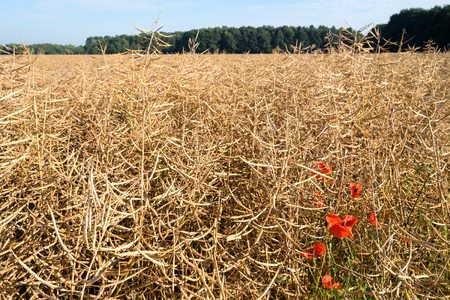 poppies at the edge of a rape field one day before harvest
