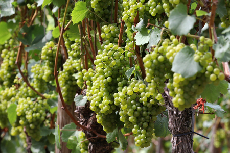 mellowness: Moselle wine grapes on a vine