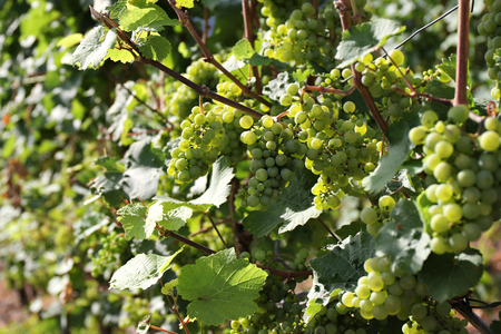 biological vineyard: Moselle wine grapes on a vine