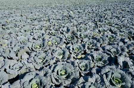 savoy: savoy cabbage field Stock Photo