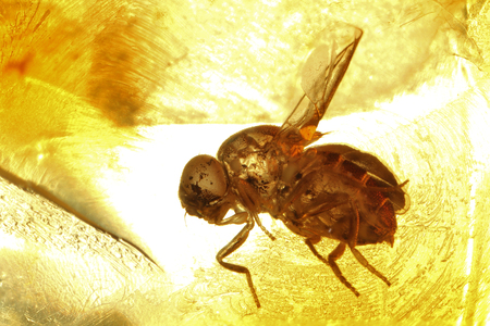 imprisoned: fly imprisoned in baltic amber