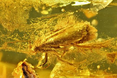 imprisoned: moth imprisoned in baltic amber