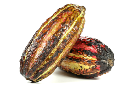 fairtrade: cacao fruits isolated on white background