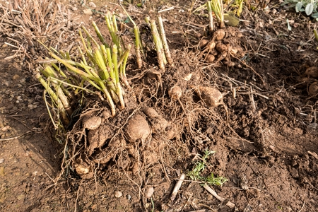 unearth: dahlia tubers just lifted for overwintering