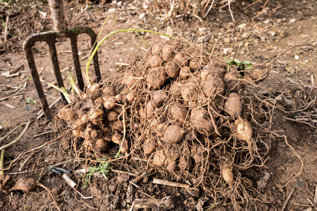 spading fork: dahlia tubers just lifted for overwintering