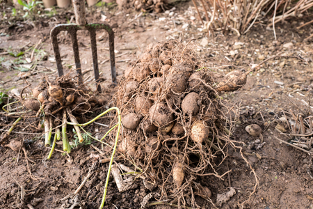 lifted: dahlia tubers just lifted for overwintering