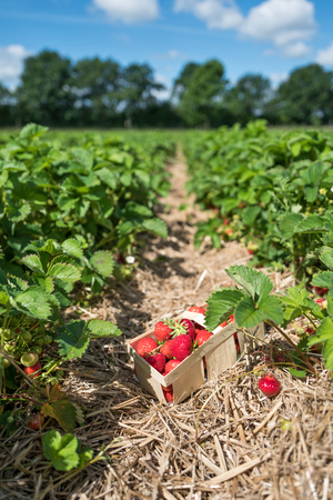 Basket full of ripe strawberries at field of a self-picking farm Stock Photo