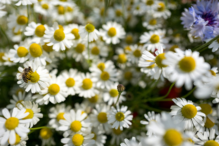 chamomilla: bee sucking nectar from chamomile on wildflower meadow