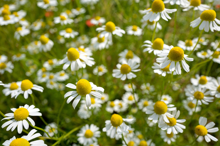 chamomilla: Matricaria chamomilla on wildflower meadow