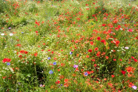 chamomilla: wildflower meadow in the summertime with poppies and chamomile