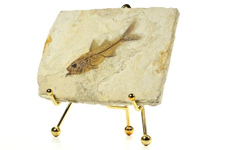 Dapalis Macrurus fish fossil from Aix-en-Provence, France Stock Photo