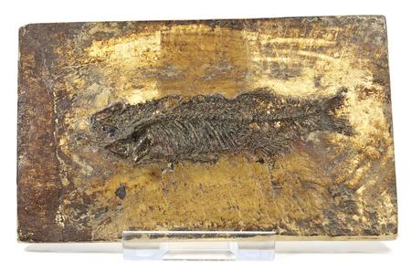 Thaumaturus intermedius fish fossil from Messel Pit near Darmstadt, Germany 스톡 콘텐츠