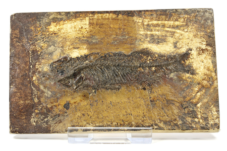 Thaumaturus intermedius fish fossil from Messel Pit near Darmstadt, Germany Banque d'images