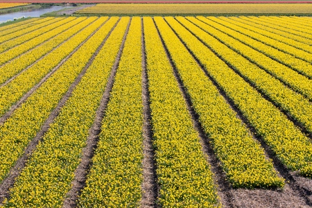 daffodil field in the Netherlands