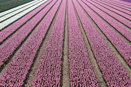 hyacinth field in the Netherlands Imagens