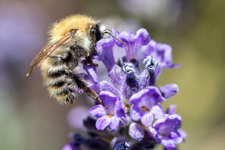 common carder bee (Bombus pascuorum) on lavender