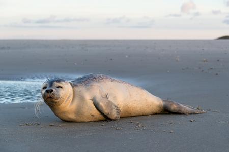 Giovane foca sulla spiaggia dell'isola olandese di Texel