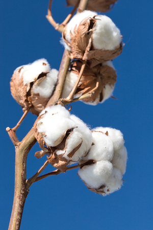 cotton branch against blue sky Standard-Bild - 121788967