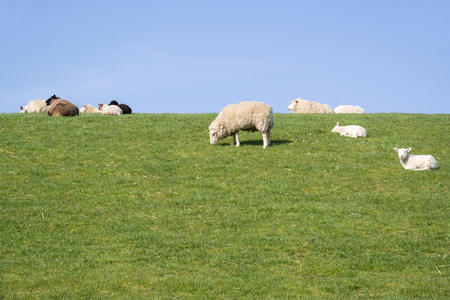 sheep on dike in North Frisia, Germany