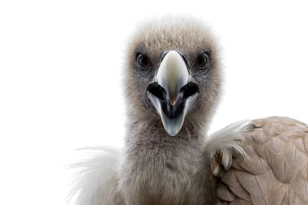 head of a griffon vulture (Gyps fulvus) against white background