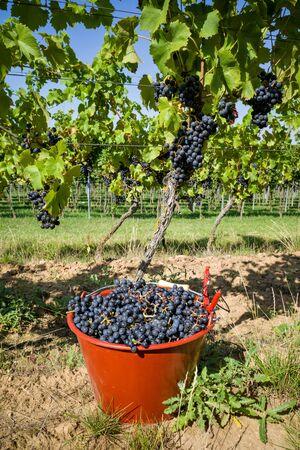 harvesting Regent wine grapes in organic vineyard