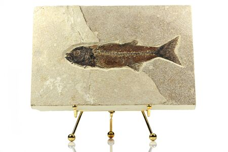 Mioplosus fish fossil from Green River Formation, Wyoming, USA