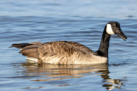 adult Canada goose (Branta canadensis) on water