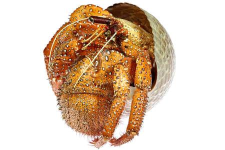 white-spotted hermit crab (Dardanus megistos) from Philippines isolated on white background Standard-Bild