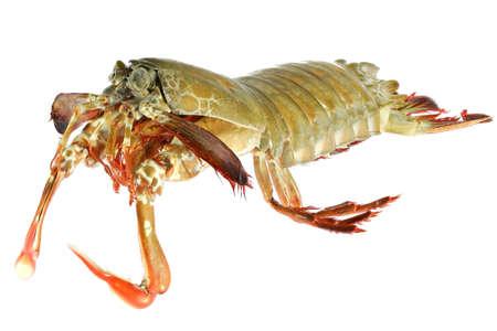 mantis shrimp (Gonodactylus chiragra) from Bohol, Philippines isolated on white background Standard-Bild